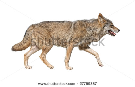 Wolf Running Stock Images, Royalty.