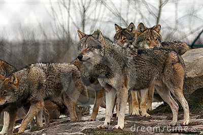 Alpha Wolves Stock Photo.