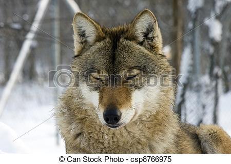 Stock Images of European gray wolf (Canis lupus lupus) csp8766975.