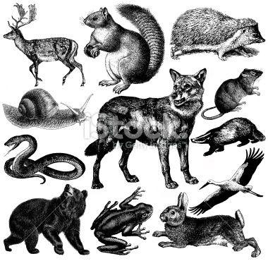 wolf // European Wildlife Fauna Illustrations.