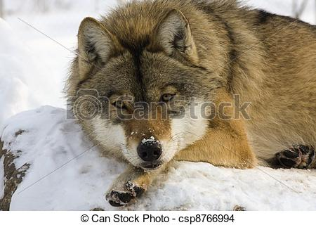 Stock Photo of European gray wolf (Canis lupus lupus) is sleeping.