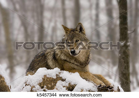 Stock Photo of European wolf like a diorama k5457344.