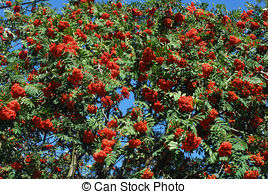 Stock Photo of Red berries growing on evergreen yew tree branches.