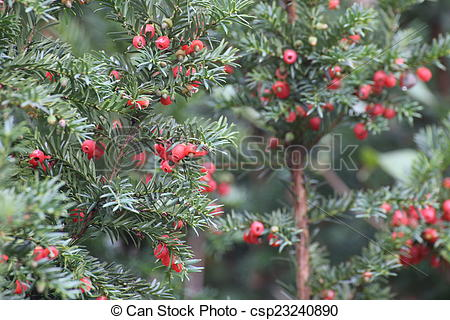 Stock Photographs of Yew Fruits.