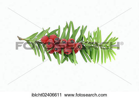 "Stock Photography of ""Yew (Taxus baccata), twig with berries."