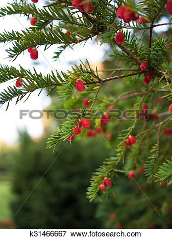 Picture of European yew tree k31466667.