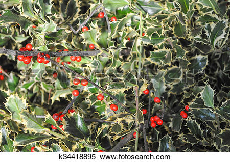Stock Image of Holly plant k34418895.