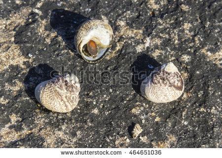 Marine Snail Stock Photos, Royalty.