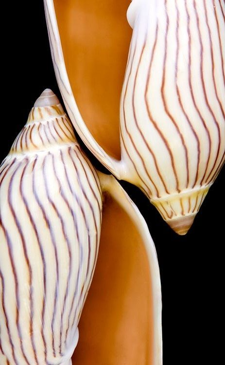 1000+ images about Sea Shells on Pinterest.