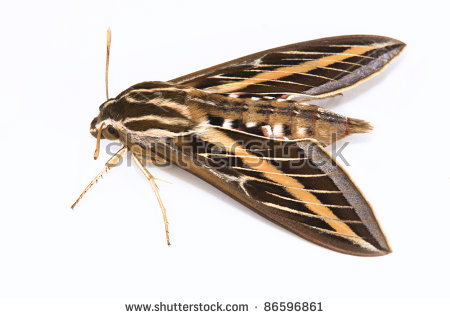 "sphinx Moth"" Stock Photos, Royalty."