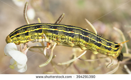 """sphinx Moth Larva"" Stock Photos, Royalty."