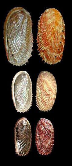 Conus patricus (Hinds, 1843), with periostracum, Pacific Panama.