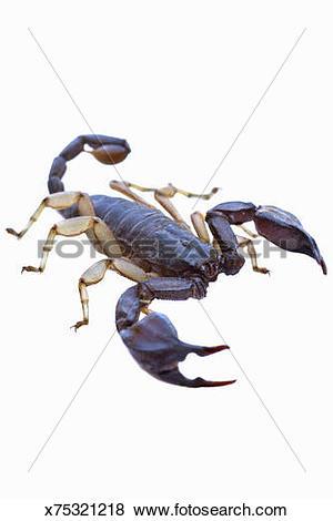 Pictures of European scorpion (euscorpius italicus) x75321218.