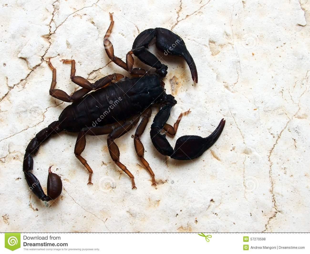 Italian Scorpion (Euscorpius Italicus) Stock Photo.