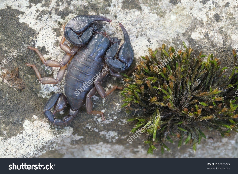 Wild Scorpion: Male Euscorpius Italicus And Moss Stock Photo.