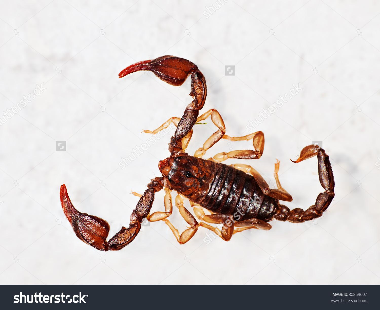 European Aka British Scorpion Macro.