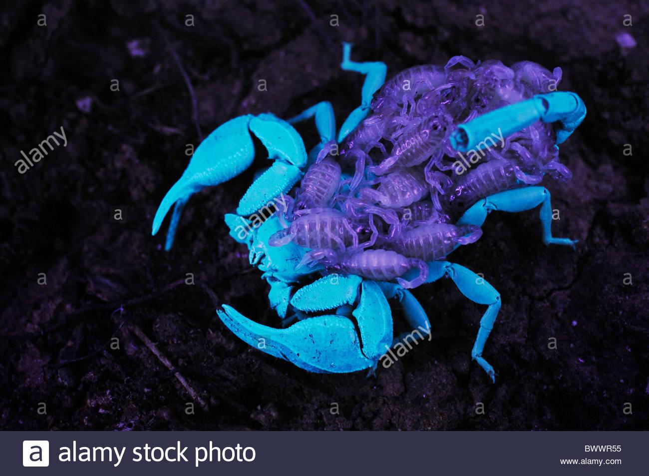 Wood Scorpion Stock Photos & Wood Scorpion Stock Images.