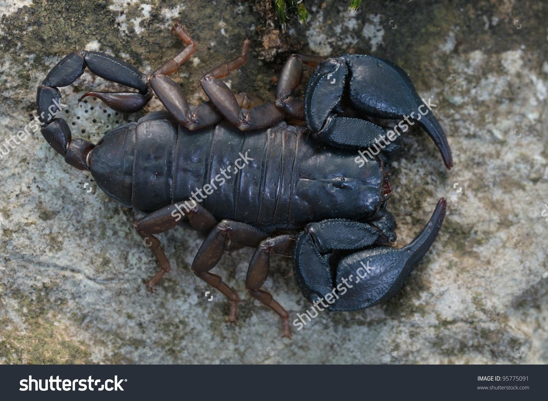 Wild Scorpion: Female Euscorpius Italicus Stock Photo 95775091.