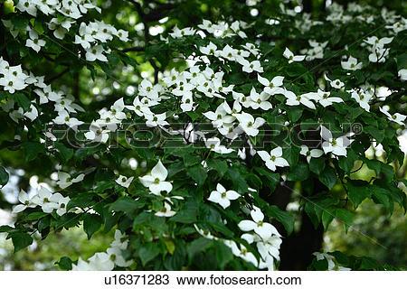 Stock Photo of Kousa dogwood (Benthamidia japonica) u16371283.