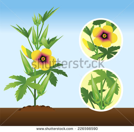 Eggplant Growth Stages Small Plant Fully Stock Vector 101531005.