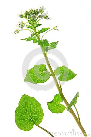 Wasabi (Eutrema Japonicum) Stock Photo.