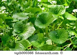 Eutrema japonica Stock Photos and Images. 90 eutrema japonica.