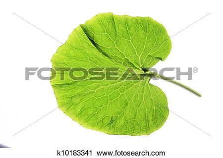 Stock Photography of Wasabi (Eutrema japonica) k10183341.