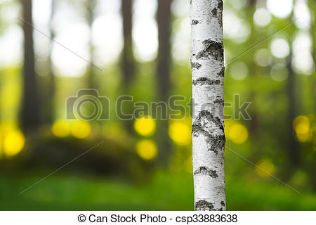 Stock Photos of trunk of birch tree in beautiful evening light.