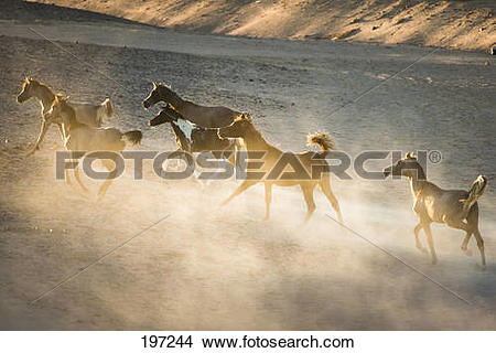 Stock Photo of Arabian Horse. Six young mares in evening light.