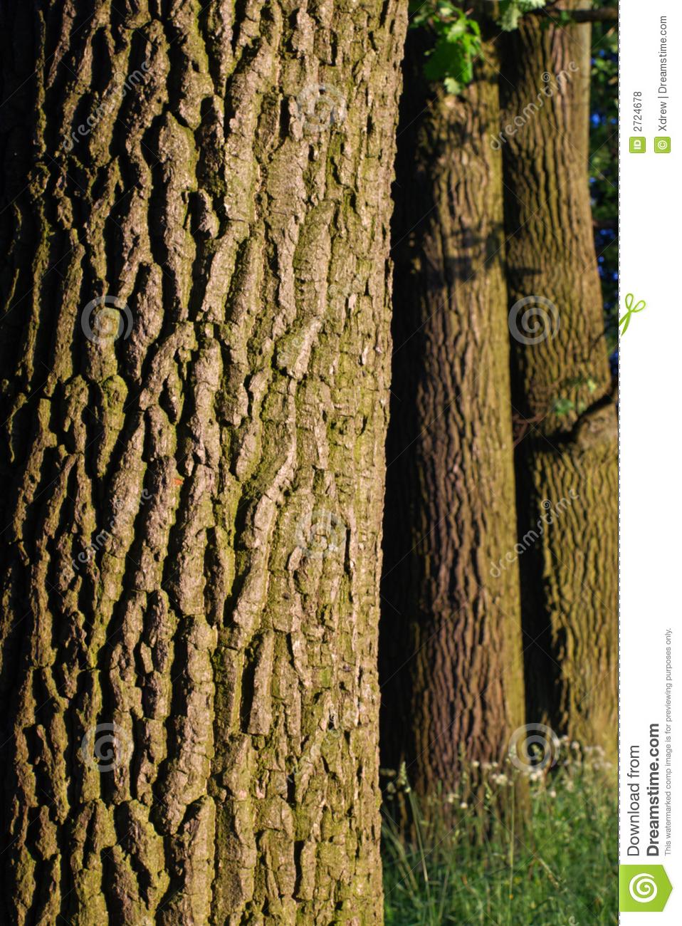 Oak Trees Bark Pattern In Evening Light Vertical #KrrBdo.