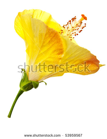 Orange Hibiscus Stock Photos, Royalty.