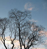 Stock Photo of Winter trees against blue sky. Evening, twilight.