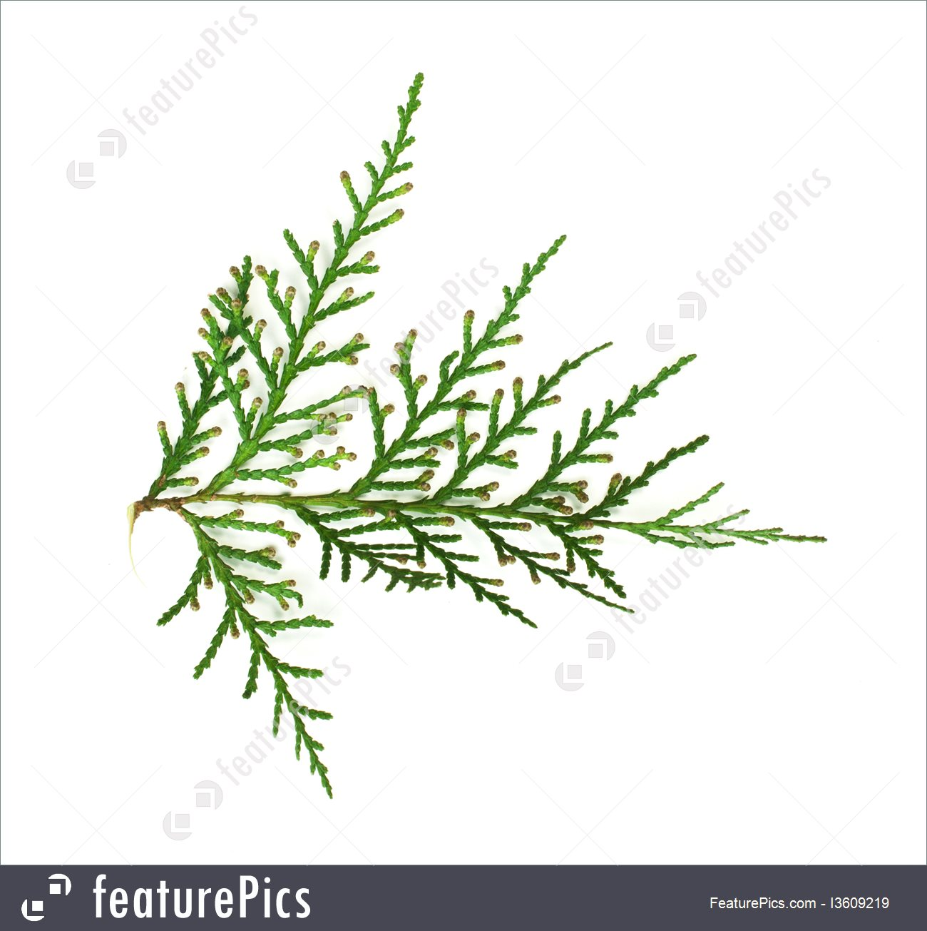 Plants: Evergreen Branch White Isolated.