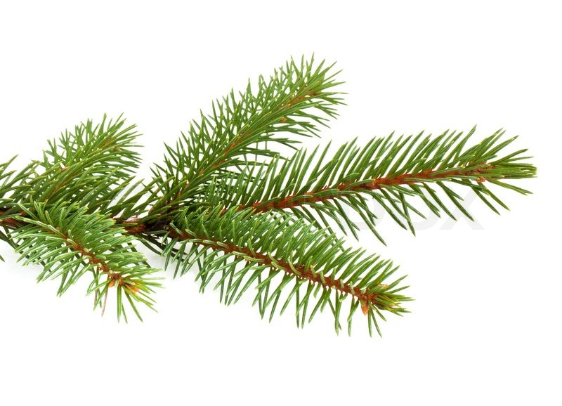 Evergeen branches clipart png transparent background.