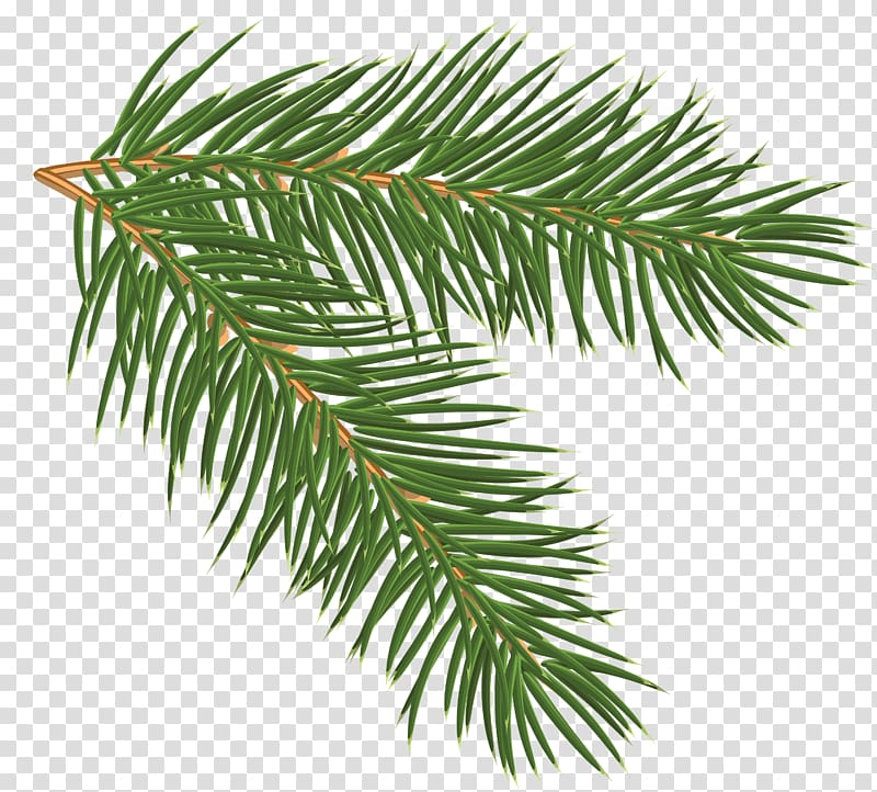 Green leaves, Pine Branch , Pine Branch transparent background PNG.