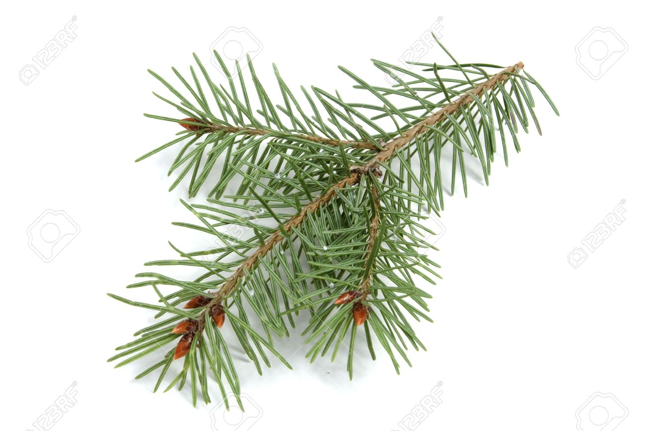 Isolated Evergreen Branch.