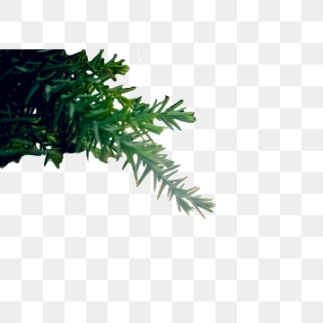 Evergreen Branch Png, Vector, PSD, and Clipart With Transparent.