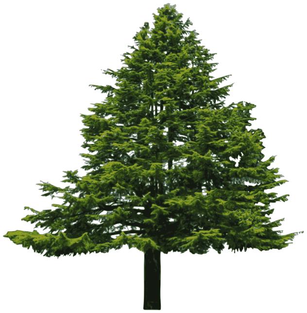 Douglass fir.