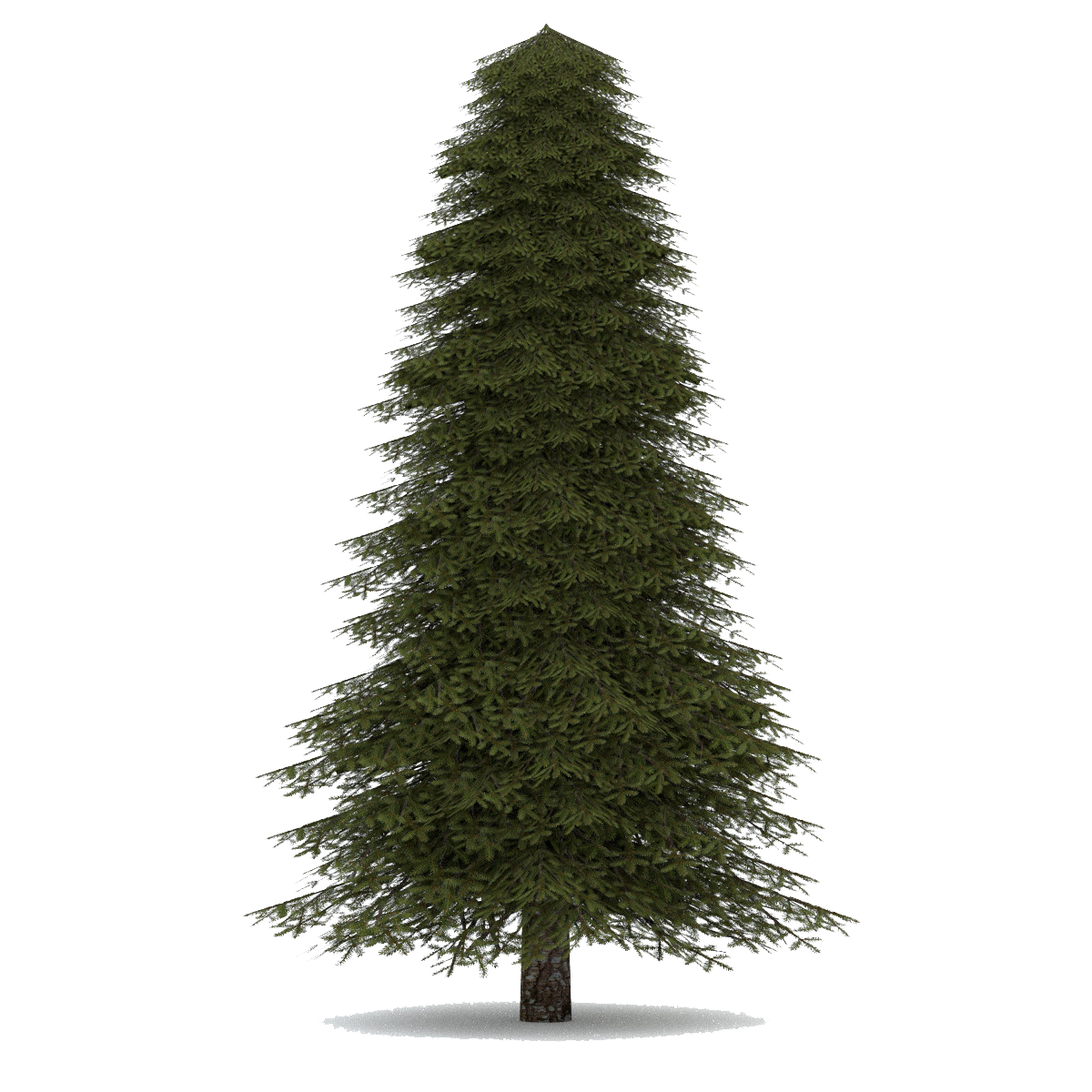 Evergreen tree png clipart images gallery for free download.