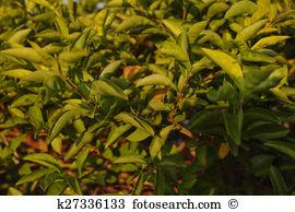 Evergreen shrub Stock Illustrations. 105 evergreen shrub clip art.