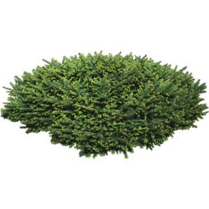 Evergreen shrub clipart #9