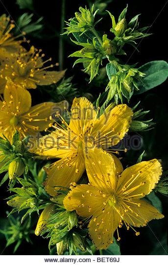 Wildflowers St Johns Wort Stock Photos & Wildflowers St Johns Wort.