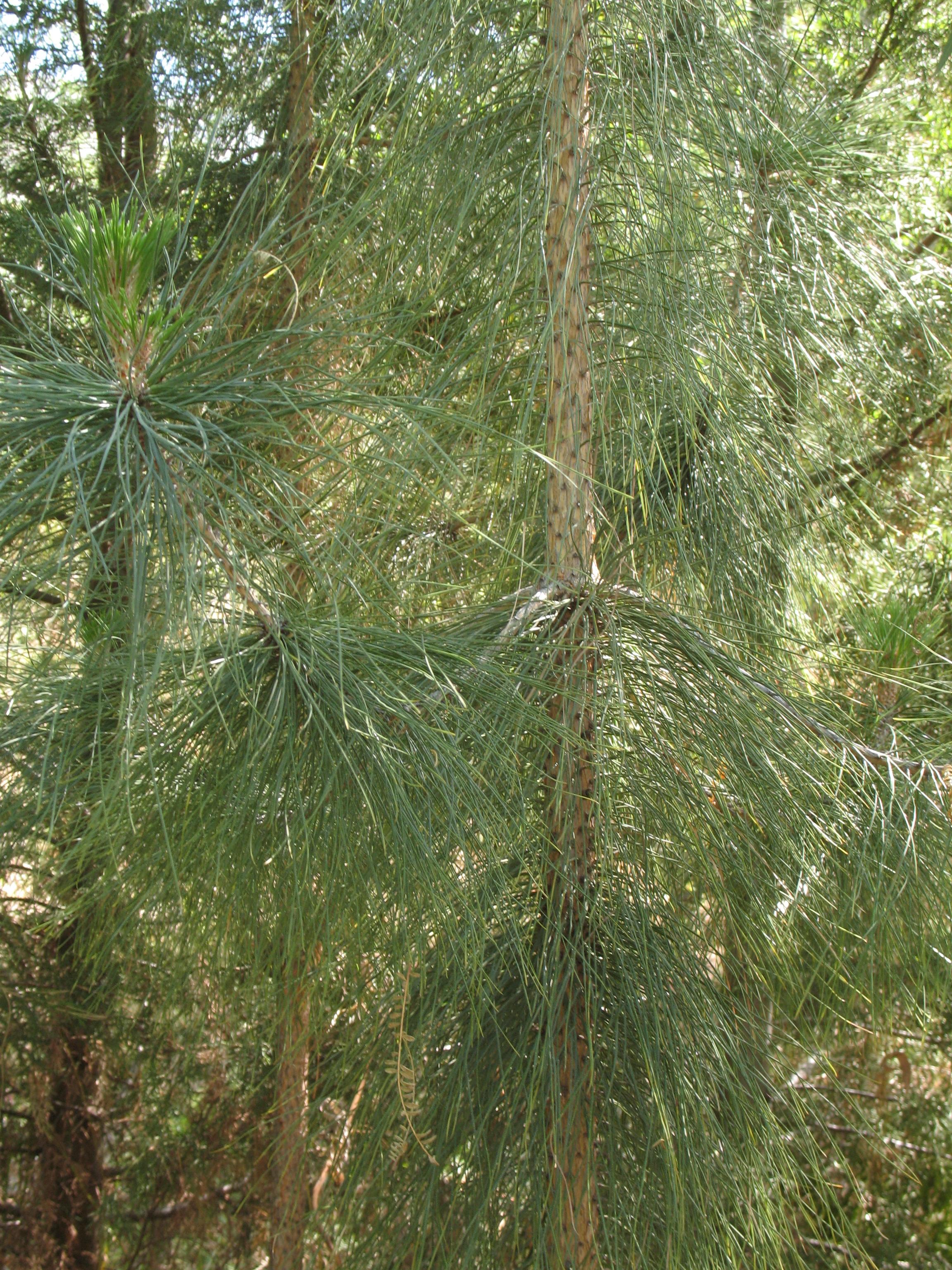 Evergreen strauchart clipart #13