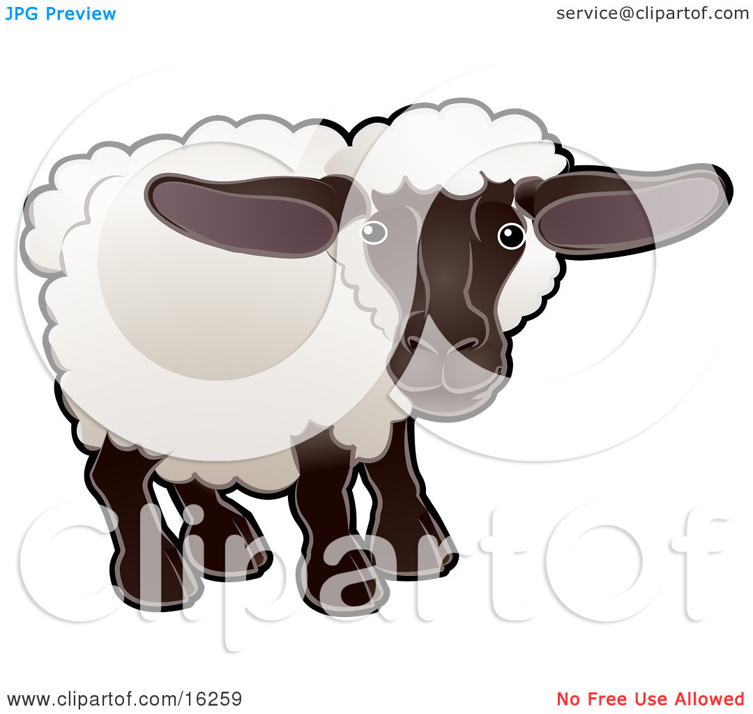 Adorable Female Sheep, An Ewe, With White Fleece, A Black Face And.