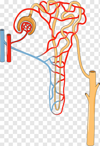 Excretory System cutout PNG & clipart images.