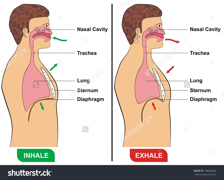Respiration Inhalation Exhalation Stock Illustration 108606032.