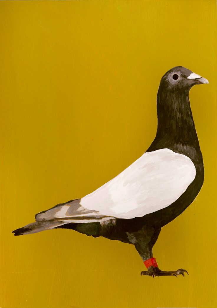 1000+ images about Pigeon.