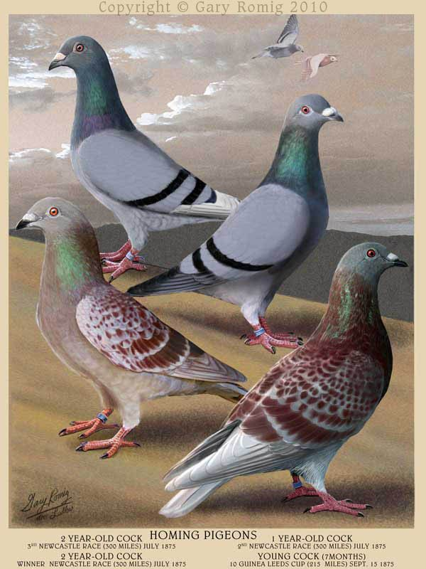 1000+ ideas about Homing Pigeons on Pinterest.