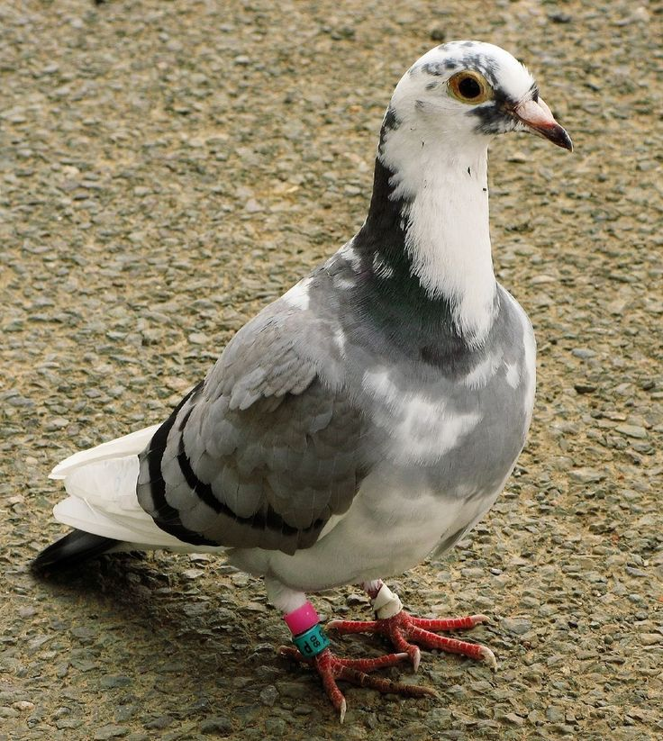 1000+ ideas about Racing Pigeons on Pinterest.