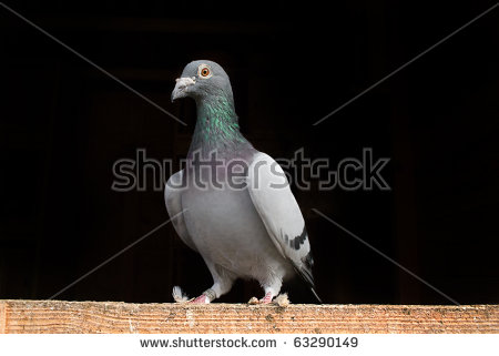 Racing Pigeon Stock Images, Royalty.